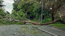 TT-Huế: Nhiều cây xanh gãy đổ, mưa lớn uy hiếp 1.100ha lúa hè thu