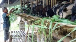 Bỏ nuôi lợn chuyển sang nuôi dê vỗ béo: Chi phí thấp, thu lãi cao