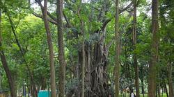 """Ảnh-clip: Những cây cổ thụ """"khủng"""", kỳ dị có một không hai ở Hà Nội"""