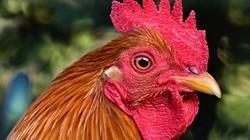 Úc: Cụ bà bị con gà trống hung dữ mổ chết thảm tại nhà riêng
