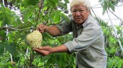 Vườn mãng cầu Nữ hoàng cho trái bự, bán 2.000 quả có hơn 100 triệu