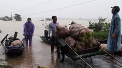 Ngập lụt ở Hà Tĩnh: Lúa mọc mầm, vườn bưởi đặc sản chìm trong nước