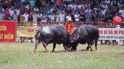Thịt trâu bày bán la liệt sau mỗi trận đấu nảy lửa tại Lễ hội chọi trâu Đồ Sơn 2019