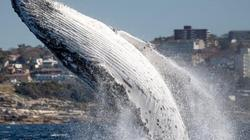 Cá voi khổng lồ lao lên mặt nước ngay sát thuyền du lịch