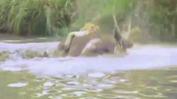 Khoảnh khắc sư tử lao xuống hồ săn linh dương và kết cục khó tin