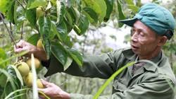 Hồng giòn Đà Lạt đầu mùa giá cao, tăng 5.000 đồng/kg