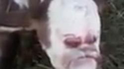 Bê con có hình mặt người khiến chủ trang trại hoảng sợ