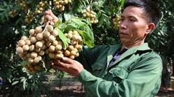 """Sơn La: Người trồng """"trái vàng"""" trên những triền đồi cằn Sông Mã"""