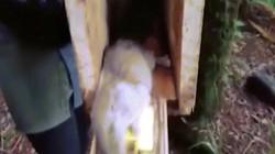 Video: Bắt được chuột khổng lồ trong rừng