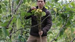 Lâm Đồng: Trồng loài hồng giòn ngọt, cứ 1 cây cho thu 1 triệu bạc