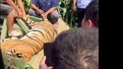 Hổ đến trường học diễn xiếc bất ngờ sổng chuồng trốn thoát