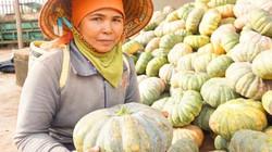 Gia Lai: Dân trồng bí đỏ lại khóc đỏ mắt vì mất mùa, mất giá
