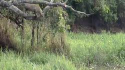 Khoảnh khắc báo đốm phi thân từ trên cây xuống nước cắn vỡ sọ cá sấu
