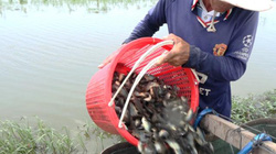 Đồng Tháp: Đi đặt xà di bắt mỗi ngày 50 ký cá rô đồng mùa nước nổi
