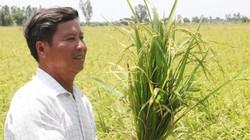"""Kiên Giang:  """"Biến"""" cả chục ha đất cằn thành ruộng lúa nếp thơm lừng"""