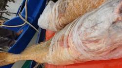 Ngư dân Cà Mau bắt được cặp cá toàn thân vàng óng, nặng 70kg