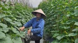 Ở đây quanh năm trồng dưa chuột mà không bị ế, giá cao 10.000 đ/kg