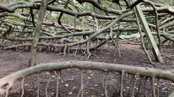 Kỳ lạ giàn Gừa khổng lồ trăm tuổi ở miền Tây sông nước