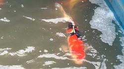 Cá Koi Nhật đắt tiền vừa thả xuống sông Tô Lịch sau 1 ngày ra sao?