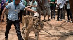 86 con hổ chết sau khi rời chùa Thái Lan: Chùa Hổ lên tiếng