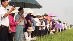 Cấy lúa Đài thơm 8, VNR20, nông dân Vĩnh Phúc lãi 20-23 triệu/ha