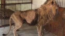 Sư tử gầy trơ xương ở vườn thú Trung Quốc gây phẫn nộ