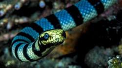 Cận cảnh loài rắn kịch độc có thể giết cả chục người trưởng thành