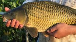 Cho cá chép ăn loại đậu tằm này, cá bỗng giòn mà ngon không tưởng