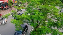 Cây xanh Hà Nội sau 3 năm chiến dịch phủ xanh đô thị giờ ra sao?