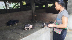 Độc đáo: Cho đàn lợn đen nằm sàn gỗ, ăn cám sạch chống dịch tả