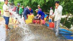 Mùa nước nổi An Giang: Bắt ốc bươu vàng, lái mua 40-45 tấn/ngày