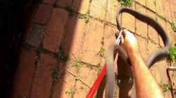 Video: Bắt được rắn mamba kịch độc khổng lồ ở nơi không ngờ