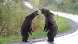Cặp gấu xám lực lưỡng kịch chiến dữ dội ngay giữa đường cao tốc
