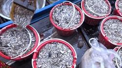 """Miền Tây mùa nước nổi: Đi xem chợ """"hẹn"""" mua bán cá chớp nhoáng"""