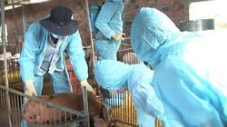 Kon Tum: Dịch tả lợn châu Phi tái phát, 200 con heo bị tiêu hủy