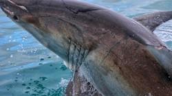 Ảnh, clip: Nhiếp ảnh gia Việt chạm mặt sát thủ đại dương trên biển