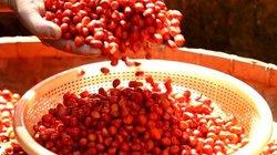 """""""Thủ phủ"""" hạt đỏ ối thu khối vàng 9999 ở xứ Mường vào mùa thu hoạch"""