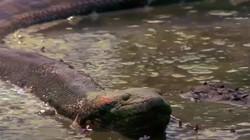 Cận cảnh mãng xà sông Amazon siết chết con mồi rồi nuốt chửng