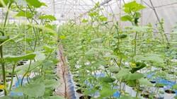 Trồng rau không cần đất, lão nông thu hàng trăm triệu/năm