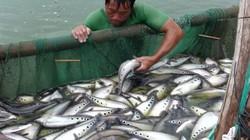 Đồng Tháp: Nước lũ lên nhanh, nông dân tất bật canh giữ cá nuôi