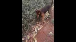 Video: Chó nhà đơn độc kịch chiến hổ mang chúa trên đường mòn và kết cục đáng thương