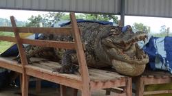 Da cá sấu Xiêm hiếm được làm tiêu bản trưng bày