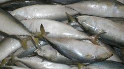 Ngư dân trúng nhiều mẻ cá từ 300 đến 500 triệu đồng