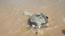 Bình Định: Thả con vích 50kg về biển
