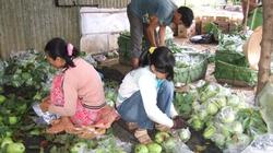 VietGAP tăng sức cạnh tranh cho ổi Long Khánh