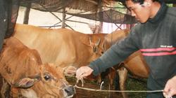 Dịch bệnh hoành hành đàn bò