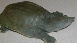 Kỳ lạ loài rùa thải nước tiểu qua... miệng