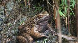 Loài ếch dùng móng vuốt ôm ấp bạn tình