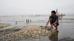 Trung Quốc giảm mua, ngao tắc đầu ra