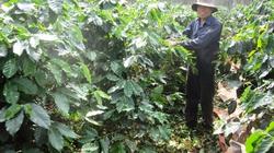 Nông dân đua nhau hái cà phê xanh